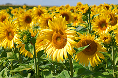 tournesols france sud tourisme